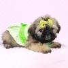 Dory - Teacup Shih Tzu Puppy Has Found A Loving Home!-11966