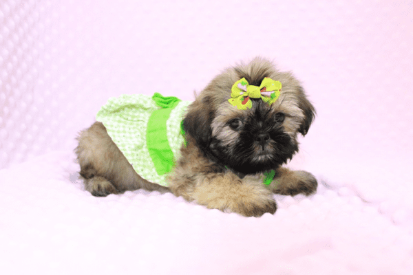 Dory - Teacup Shih Tzu Puppy Has Found A Loving Home!-11966
