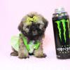 Dory - Teacup Shih Tzu Puppy Has Found A Loving Home!-0