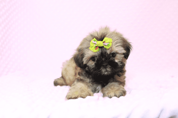Dory - Teacup Shih Tzu Puppy Has Found A Loving Home!-11964