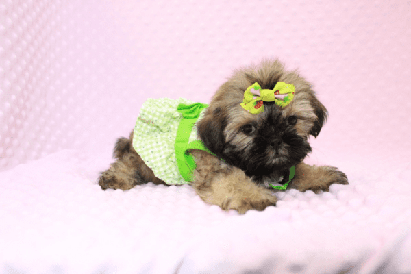 Dory - Teacup Shih Tzu Puppy Has Found A Loving Home!-11967