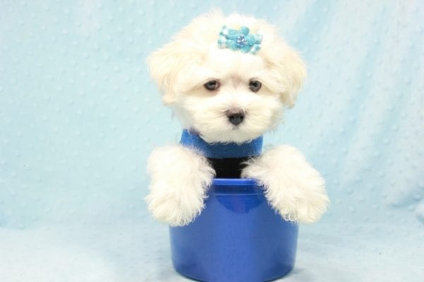 Duke - Toy Maltese Puppy Found his loving home with Lourdes in Lynwood, CA-12242