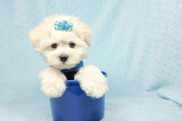 Duke - Toy Maltese Puppy Found his loving home with Lourdes in Lynwood, CA-12245