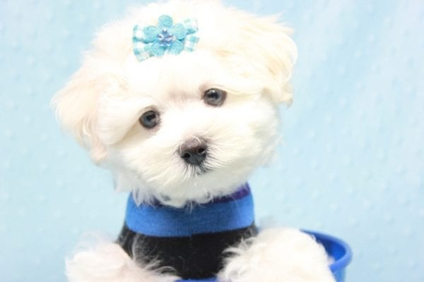 Duke - Toy Maltese Puppy Found his loving home with Lourdes in Lynwood, CA-12244