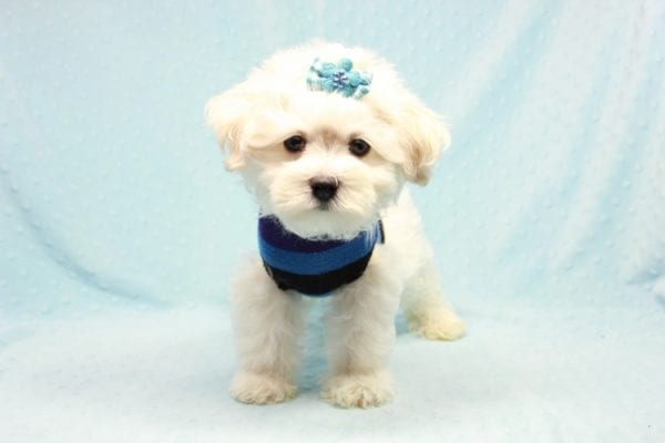 Duke - Toy Maltese Puppy Found his loving home with Lourdes in Lynwood, CA-12247
