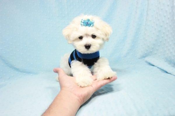 Duke - Toy Maltese Puppy in CA