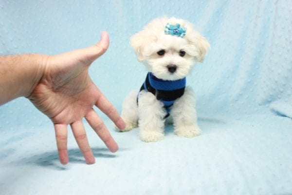 Duke - Toy Maltese Puppy Found his loving home with Lourdes in Lynwood, CA-12246