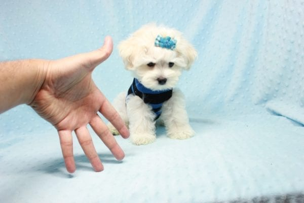 Duke - Toy Maltese Puppy Found his loving home with Lourdes in Lynwood, CA-12241