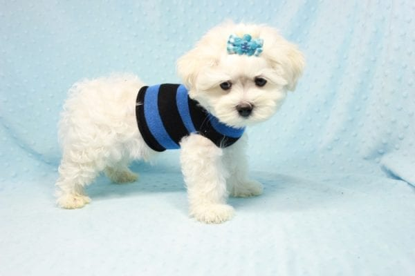 Duke - Toy Maltese Puppy Found his loving home with Lourdes in Lynwood, CA-12243