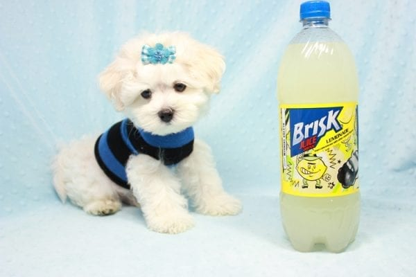 Duke - Toy Maltese Puppy Found his loving home with Lourdes in Lynwood, CA-12248