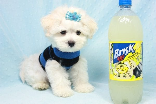 Duke - Toy Maltese Puppy Found his loving home with Lourdes in Lynwood, CA-12240
