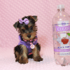 Eevee - Teacup Yorkie Puppy has found a good loving home with Thomas from Las Vegas, NV 89148-12359