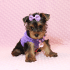 Eevee - Teacup Yorkie Puppy has found a good loving home with Thomas from Las Vegas, NV 89148-12357
