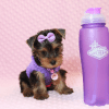 Eevee - Teacup Yorkie Puppy has found a good loving home with Thomas from Las Vegas, NV 89148-12362