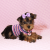 Eevee - Teacup Yorkie Puppy has found a good loving home with Thomas from Las Vegas, NV 89148-12361