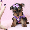 Eevee - Teacup Yorkie Puppy has found a good loving home with Thomas from Las Vegas, NV 89148-12360