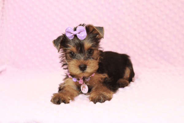 Eevee - Teacup Yorkie Puppy has found a good loving home with Thomas from Las Vegas, NV 89148-0