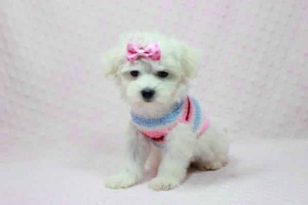 Helena - Maltese Puppy In Los Angeles Found a new loving home with Dawn From Fallbrooke CA 92028-0