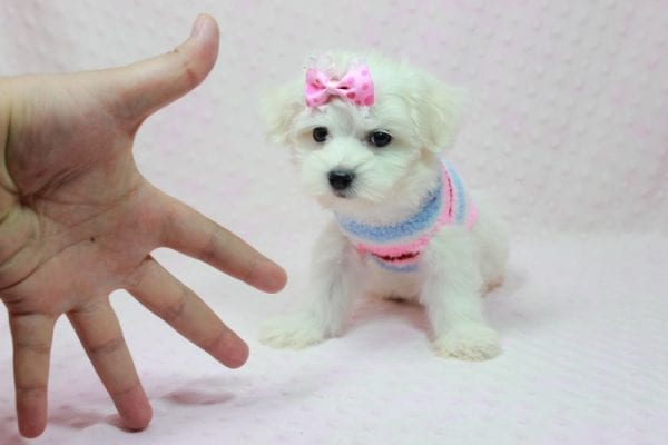 Helena - Maltese Puppy In Los Angeles Found a new loving home with Dawn From Fallbrooke CA 92028-12202