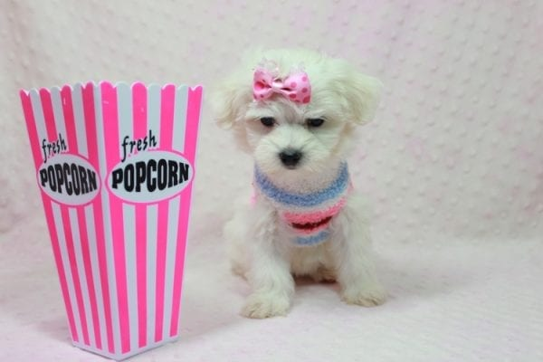 Helena - Maltese Puppy In Los Angeles Found a new loving home with Dawn From Fallbrooke CA 92028-12205