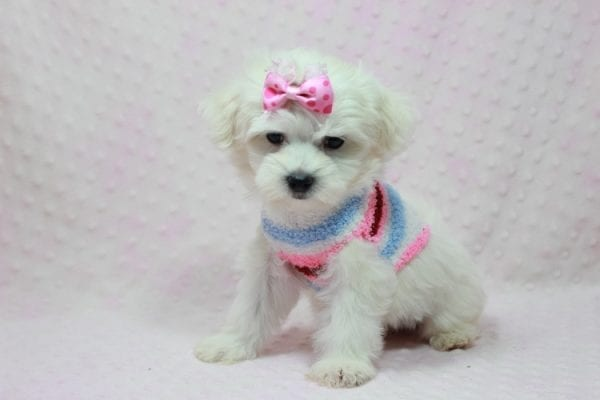 Helena - Maltese Puppy In Los Angeles Found a new loving home with Dawn From Fallbrooke CA 92028-12204