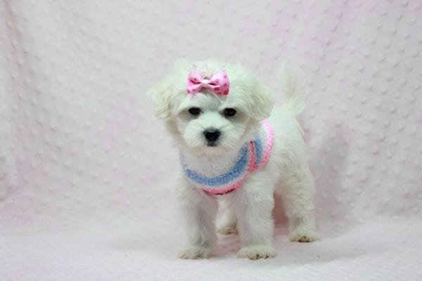 Helena - Maltese Puppy In Los Angeles Found a new loving home with Dawn From Fallbrooke CA 92028-12209