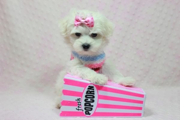 Helena - Maltese Puppy In Los Angeles Found a new loving home with Dawn From Fallbrooke CA 92028-12201