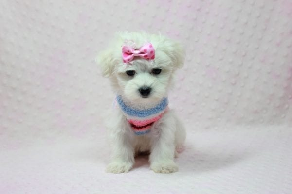 Helena - Maltese Puppy In Los Angeles Found a new loving home with Dawn From Fallbrooke CA 92028-12203