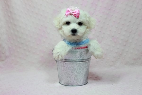 Helena - Maltese Puppy In Los Angeles Found a new loving home with Dawn From Fallbrooke CA 92028-12206
