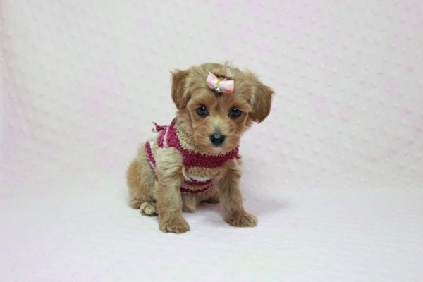 Emma Watson - Teacup Maltipoo Puppy In L.A Found A New Loving home -12158