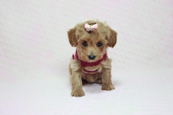 Emma Watson - Teacup Maltipoo Puppy In L.A Found A New Loving home -12152
