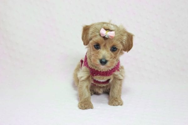 Emma Watson - Teacup Maltipoo Puppy In L.A Found A New Loving home -12153