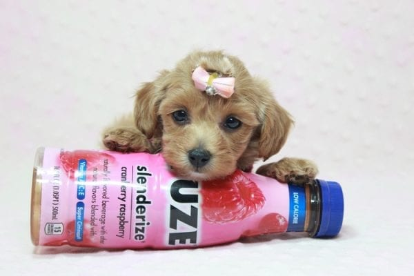 Emma Watson - Teacup Maltipoo Puppy In L.A Found A New Loving home -12157