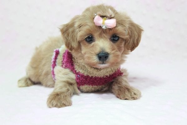 Emma Watson - Teacup Maltipoo Puppy In L.A Found A New Loving home -12151