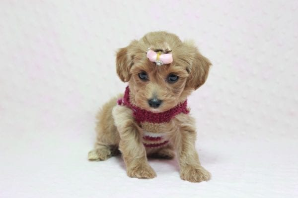 Emma Watson - Teacup Maltipoo Puppy In L.A Found A New Loving home -12150