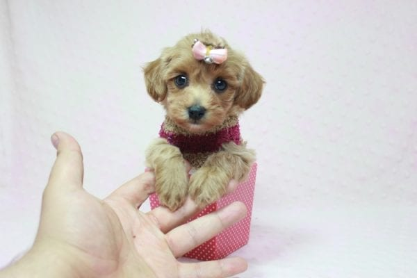 Emma Watson - Teacup Maltipoo Puppy In L.A Found A New Loving home -12154