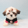 Hamilton - Teacup Shih Tzu Puppy Has Found A Loving Home With Joshua in Castaic, CA!-12054