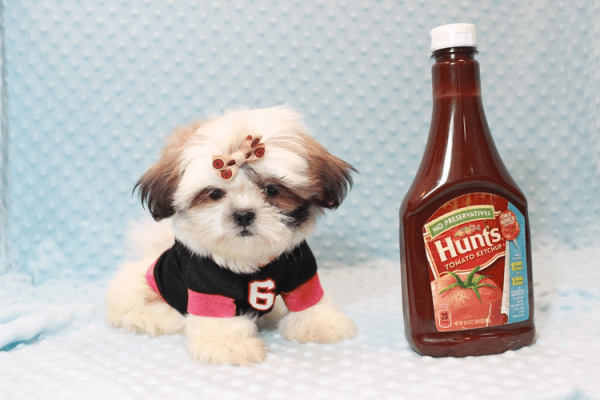 Hamilton - Teacup Shih Tzu Puppy Has Found A Loving Home With Joshua in Castaic, CA!-12048