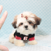 Hamilton - Teacup Shih Tzu Puppy Has Found A Loving Home With Joshua in Castaic, CA!-0