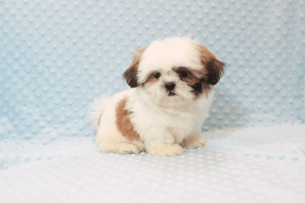 Hamilton - Teacup Shih Tzu Puppy Has Found A Loving Home With Joshua in Castaic, CA!-12049