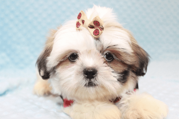 Hamilton - Teacup Shih Tzu Puppy Has Found A Loving Home With Joshua in Castaic, CA!-12055