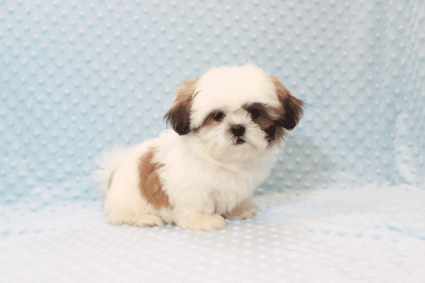 Hamilton - Teacup Shih Tzu Puppy Has Found A Loving Home With Joshua in Castaic, CA!-12052