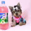 Hannah Montana - Teacup Yorkie Puppy has found a good loving home with Malayna from North Las Vegas, NV 89084-11982