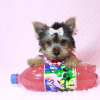 Hannah Montana - Teacup Yorkie Puppy has found a good loving home with Malayna from North Las Vegas, NV 89084-11984