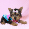 Hannah Montana - Teacup Yorkie Puppy has found a good loving home with Malayna from North Las Vegas, NV 89084-11978