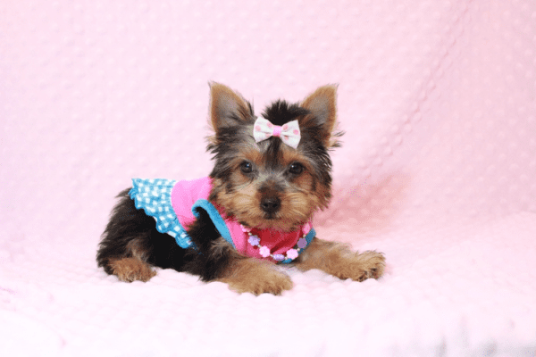 Hannah Montana - Teacup Yorkie Puppy has found a good loving home with Malayna from North Las Vegas, NV 89084-11981
