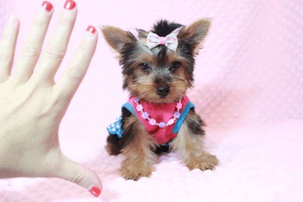 Hannah Montana - Teacup Yorkie Puppy has found a good loving home with Malayna from North Las Vegas, NV 89084-11980