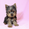 Hannah Montana - Teacup Yorkie Puppy has found a good loving home with Malayna from North Las Vegas, NV 89084-11983