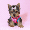 Hannah Montana - Teacup Yorkie Puppy has found a good loving home with Malayna from North Las Vegas, NV 89084-11979