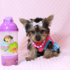 Hannah Montana - Teacup Yorkie Puppy has found a good loving home with Malayna from North Las Vegas, NV 89084-0